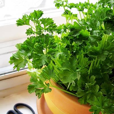 herb-parsley-400x400