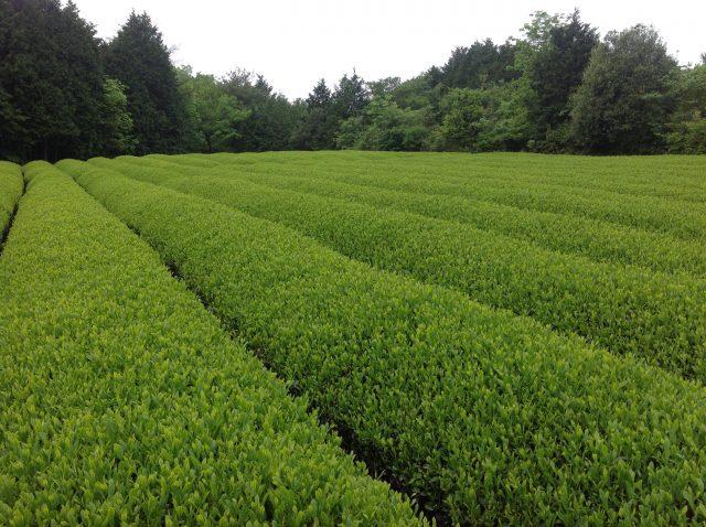 大和の茶畑