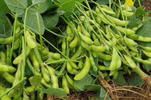 収穫されたばかりの枝豆の写真