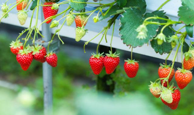 真っ赤に熟したイチゴや、早熟なイチゴがなっている写真