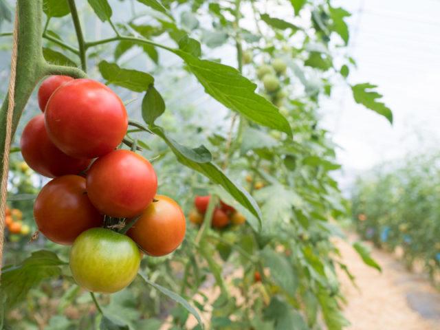 トマト農園で色づきつつあるトマトや熟したトマトがなっている写真