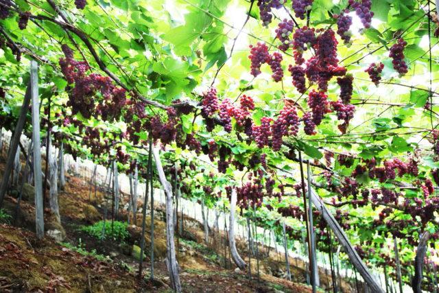 斜面に立ち並ぶブドウの木の写真