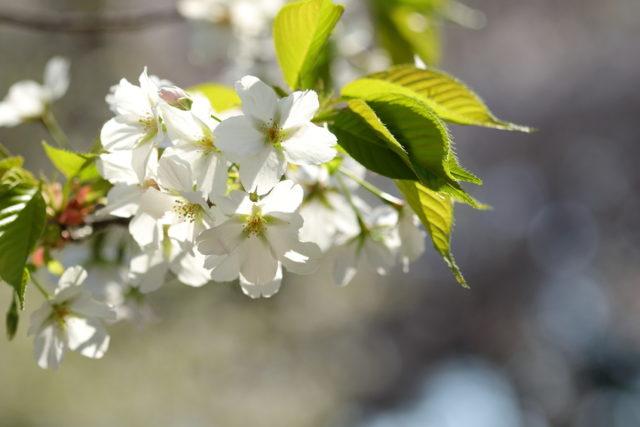桜の花が咲いている画像
