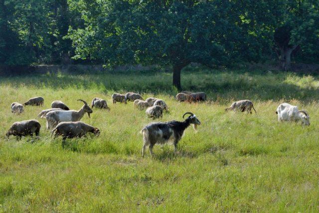 草原に八木の群れが放牧されている画像
