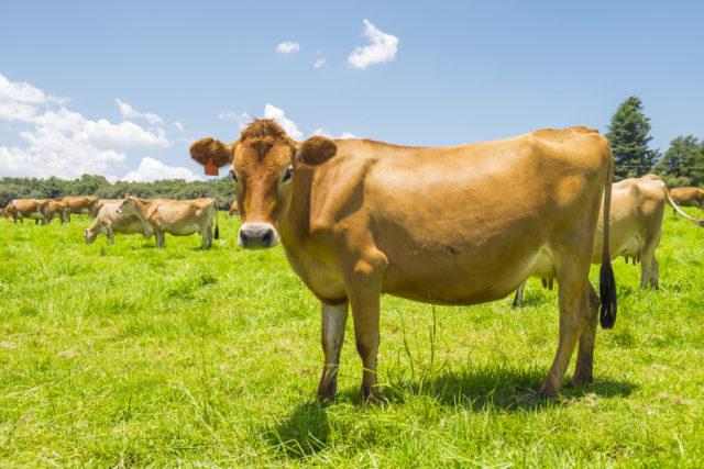 牧草生い茂る草原にいる牛の画像