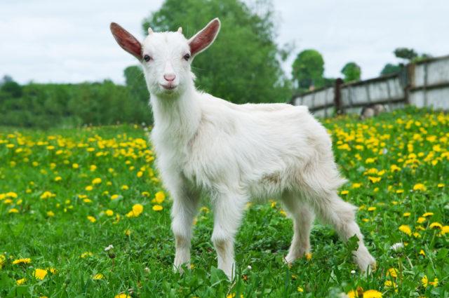 草原に立つ子ヤギの画像