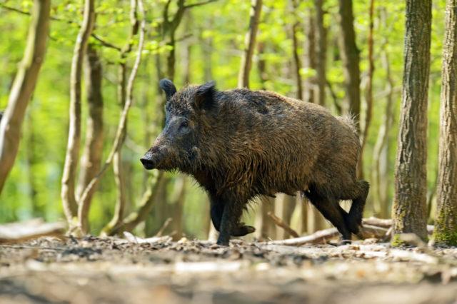 森の中にたたずむ猪の画像