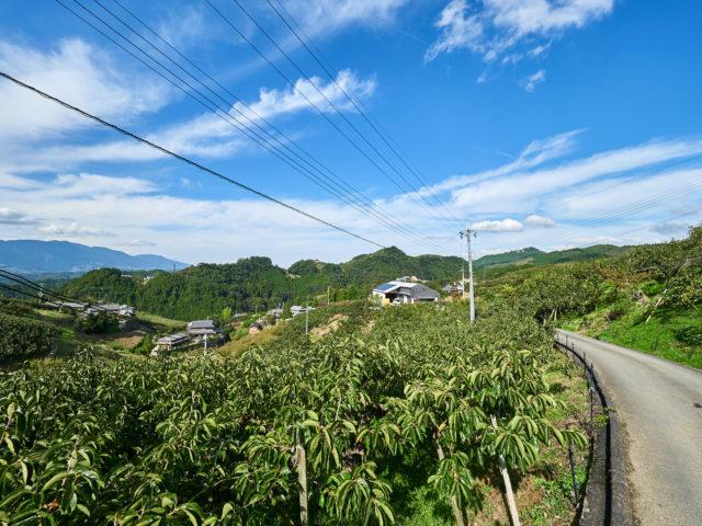 柿の木がスラーっと並ぶ風景の写真