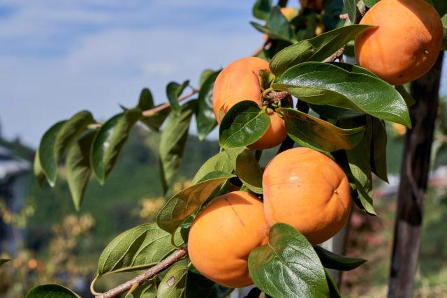 木になっている柿の写真