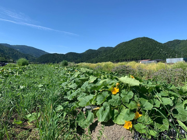 夏の京都・大原のズッキーニ畑の写真